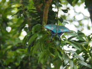 南楽園鳳蝶